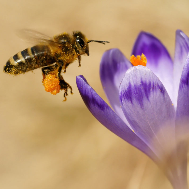 Honeybees (Apis mellifera), bees flying over the crocuses in the spring on a mountain meadow in the Tatra Mountains, Poland